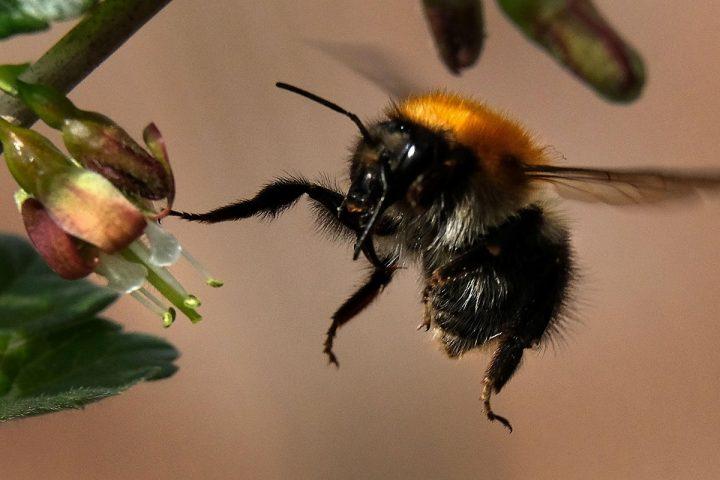 bumblebee-flower-720x480.jpg