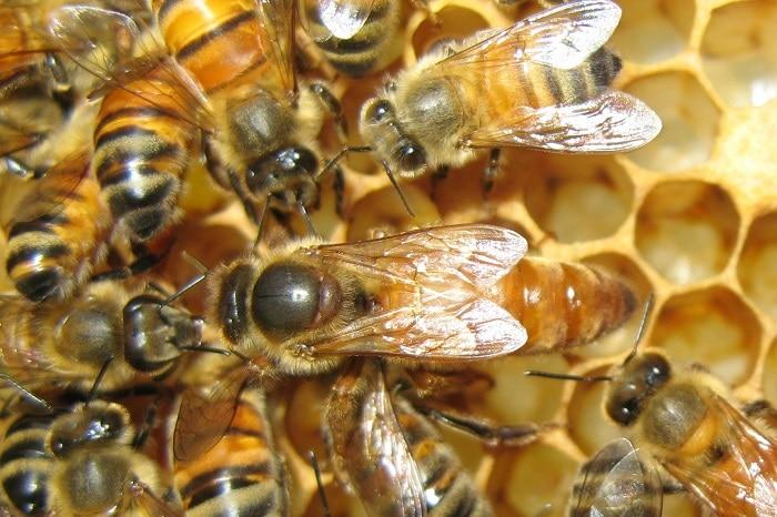 انواع زنبور عسل
