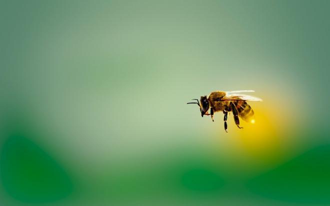 زنبورهای بدون نیش1