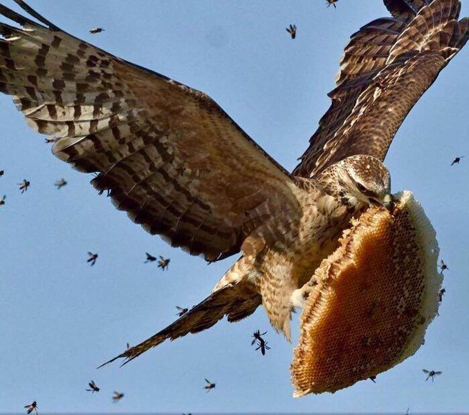 زنبورهای عسل در تعقیب دزد کندوی عسل...