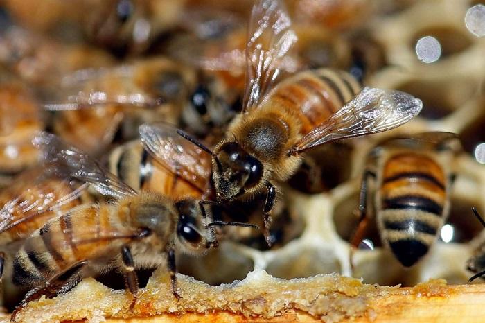 خطر کاهش جمعیت زنبورهای عسل